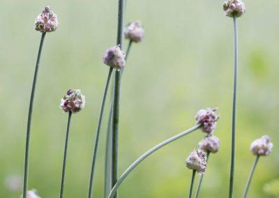 Slangelook - Sand Leek (Allium scorodoprasum)
