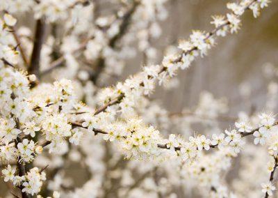 Sleedoorn - Blackthorn (Prunus spinosa)