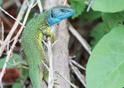 Smaragdhagedis - European Green Lizard (Lacerta viridis)