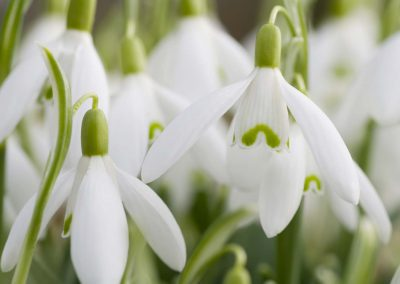 Sneeuwklokje - Snowdrop (Galanthus nivalis)