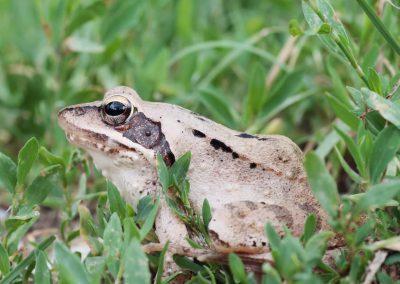 Springkikker - Agile Frog (Rana dalmatina)