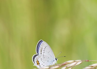 Staartblauwtje - Short-tailed Blue (Cupido argiades)