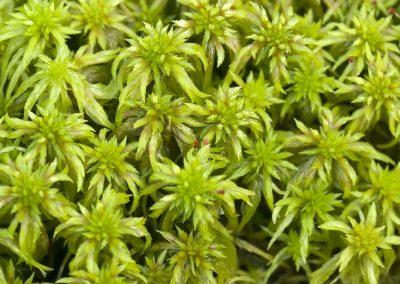 Veenmos - Sphagnum (S. cuspidatum)