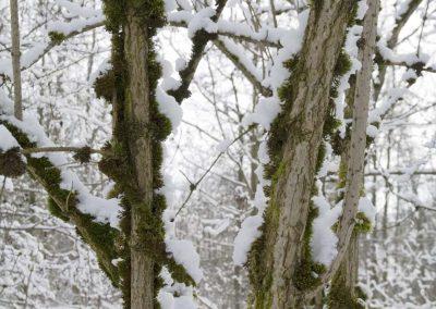 Vlier met mos en sneeuw - Natural background with Snow