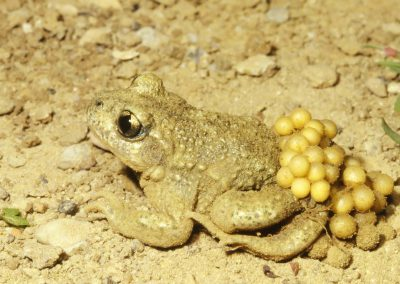 Vroedmeesterpad - Common Midwife Toad (Alytes obstetricans)