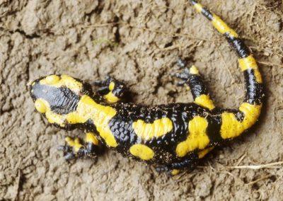 Vuursalamander - Fire Salamander (Salamandra salamandra)