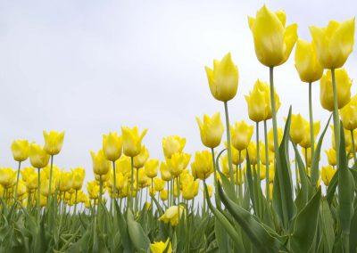 Yellow Tulipe