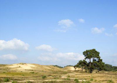 Zand duinen met Vliegdennen - Sand Dunes (Wekeromse Zand)
