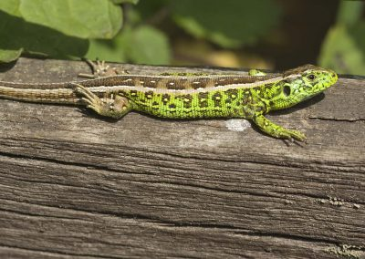 Zandhagedis - Sand Lizard (Lacerta agilis) Male