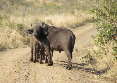 African Buffalo 1