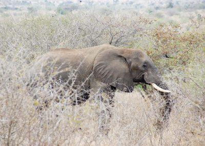 African Elepant 6