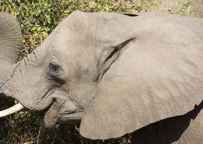 African Elephant 4