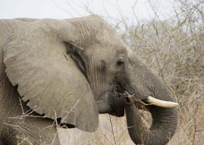 African Elephant 7