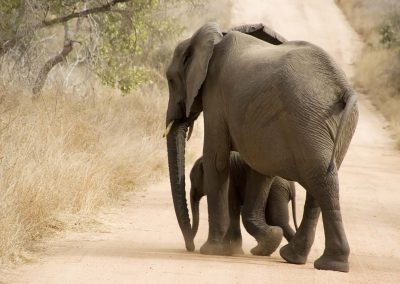 African Elephant 8
