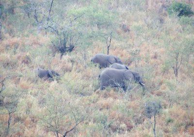 African elephant 9