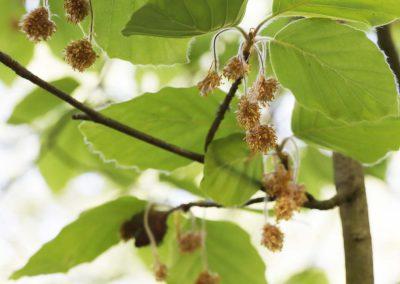 Beuk - Fagus sylvatica (Beech tree)