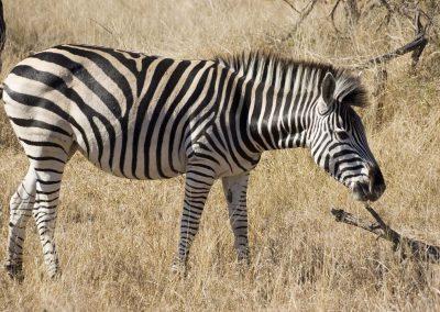 Burchell's Zebra 1