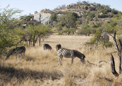 Burchell's Zebra 2