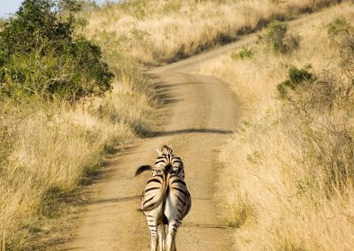 Burchell's Zebra 3