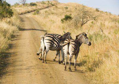 Burchell's Zebra 4