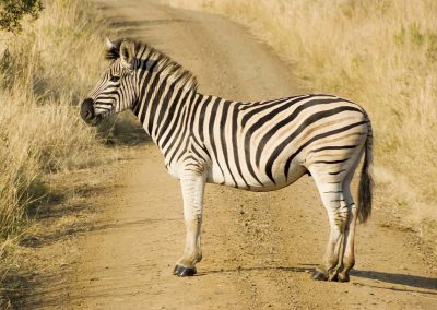 Burchell's Zebra 5