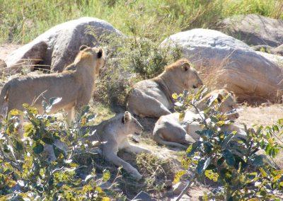 Family Lion on Rocks