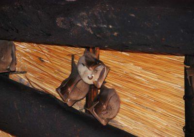 Fruitbats under Roof