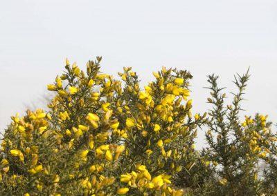 Gaspeldoorn - (Ulex europaeus)