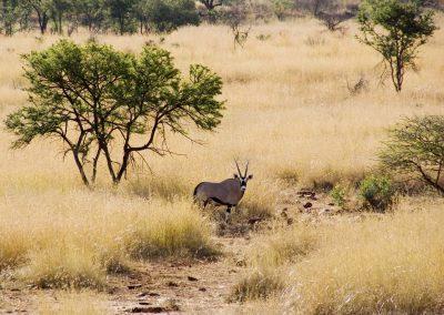 Gemsbok Antilope - Oryx