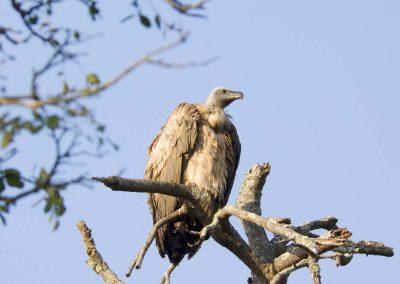 Gier - White -backed Vulture