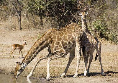 Giraffe - Drinking Mother with Calf 2