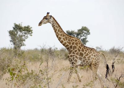 Giraffe - Male 3