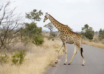 Giraffe - Male 4