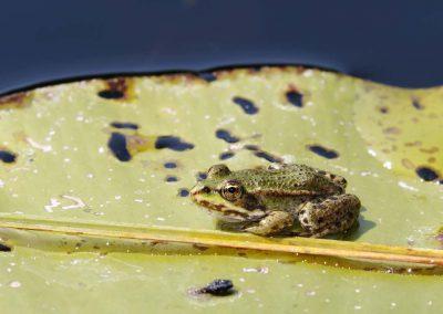 Groene kikker - Rana esculenta (Edible frog)