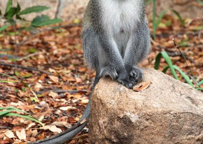 Groene meerkat - Vervet Monkey
