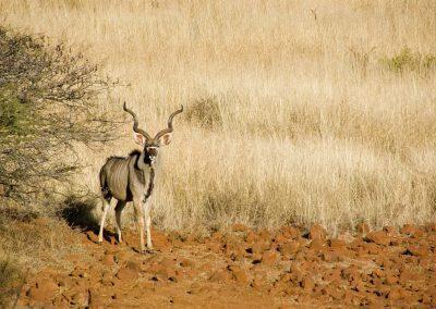 Koedoe Antilope - Greater Kudu - Male 1