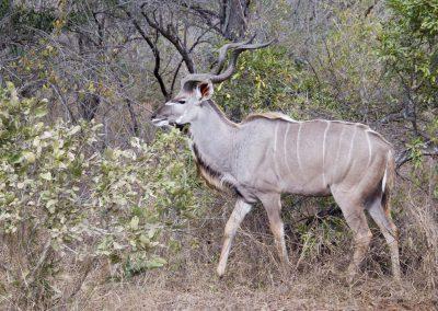 Koedoe Antilope - Greater Kudu - Male 2