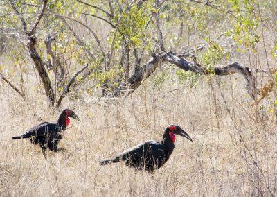 Neushoornvogel - Southern Ground Hornbill 1