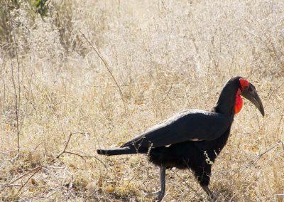 Neushoornvogel - Southern Ground Hornbill 2