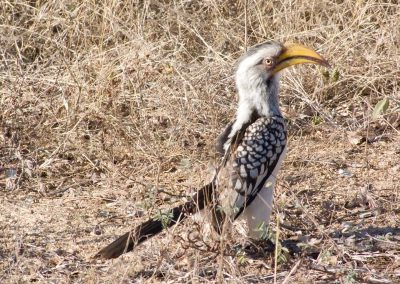 Neushoornvogel - Southern Yellow-billed Hornbill