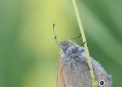 Roodstreephooibeestje - Coenonympha glycerion (Chestnut heath)