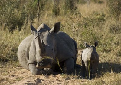 White Rhinoceros with Calf 1