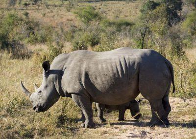 White Rhinoceros with Calf 2