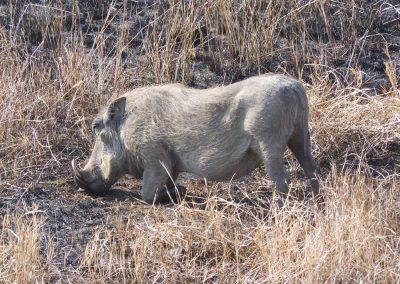 Wrattenzwijn - Warthog 2